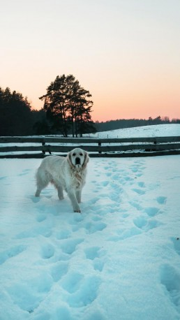 śnieg zima i golden retriever sonia