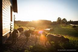 owce zwierzaki Siedlisko na Wygonie