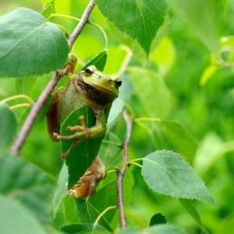 rzekotka żaba zwierzaki Siedlisko na Wygonie
