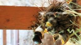 jaskółki zwierzaki Siedlisko na Wygonie