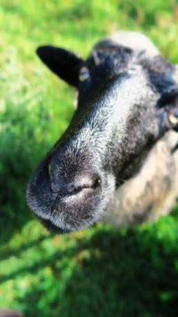owce wrzosówki zwierzaki Siedlisko na Wygonie
