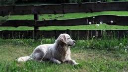 pies i owce wrzosówki zwierzaki Siedlisko na Wygonie